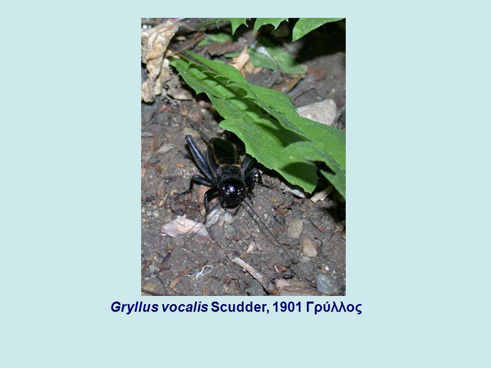 Gryllus vocalis Scudder, 1901 Γρύλλος