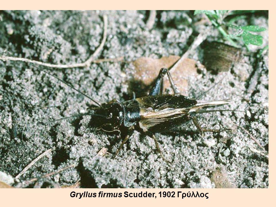 Gryllus firmus Scudder, 1902 Γρύλλος