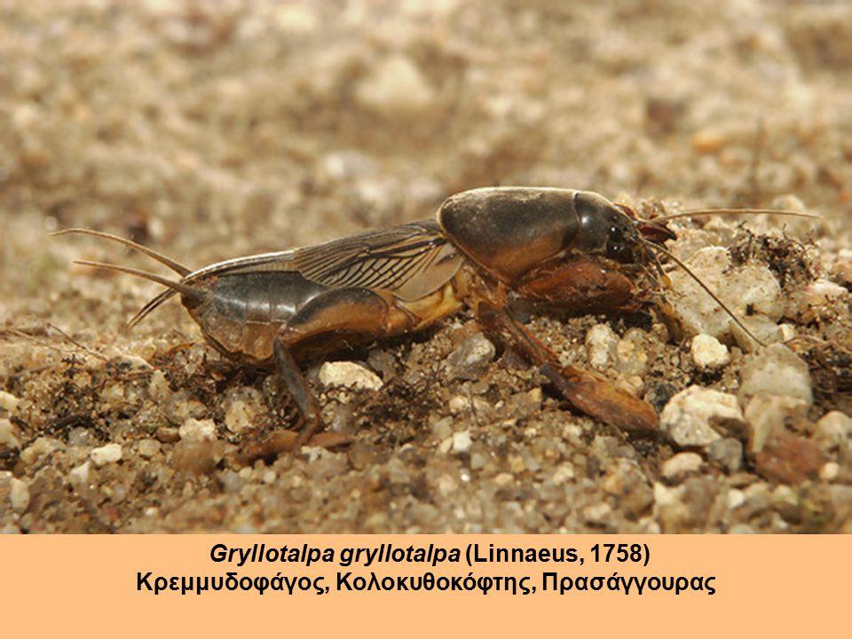 Gryllotalpa gryllotalpa (Linnaeus, 1758) Κρεμμυδοφάγος, Κολοκυθοκόφτης, Πρασάγγουρας