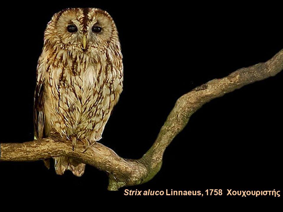Strix aluco Linnaeus, 1758 Χουχουριστής