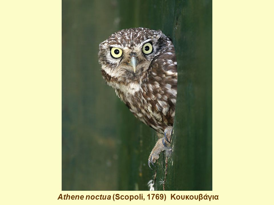 Athene noctua (Scopoli, 1769) Κουκουβάγια