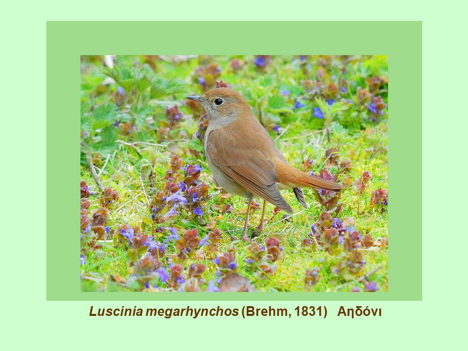 Luscinia megarhynchos (Brehm, 1831) Αηδόνι