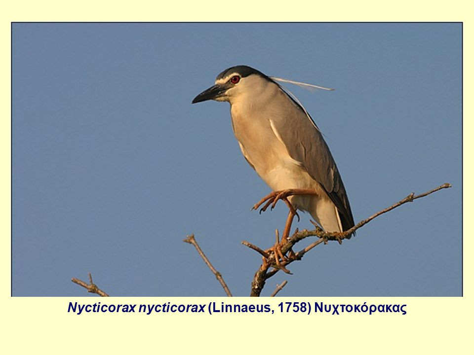 Nycticorax nycticorax (Linnaeus, 1758) Νυχτοκόρακας