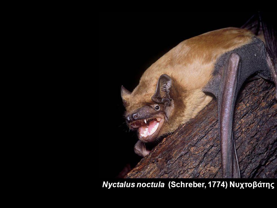 Nyctalus noctula (Schreber, 1774) Νυχτοβάτης