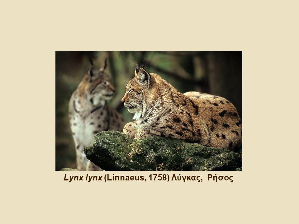 Lynx lynx (Linnaeus, 1758) Λύγκας, Ρήσος