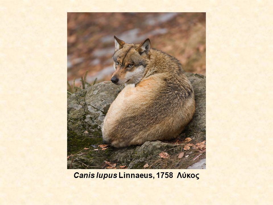 Canis lupus Linnaeus, 1758 Λύκος