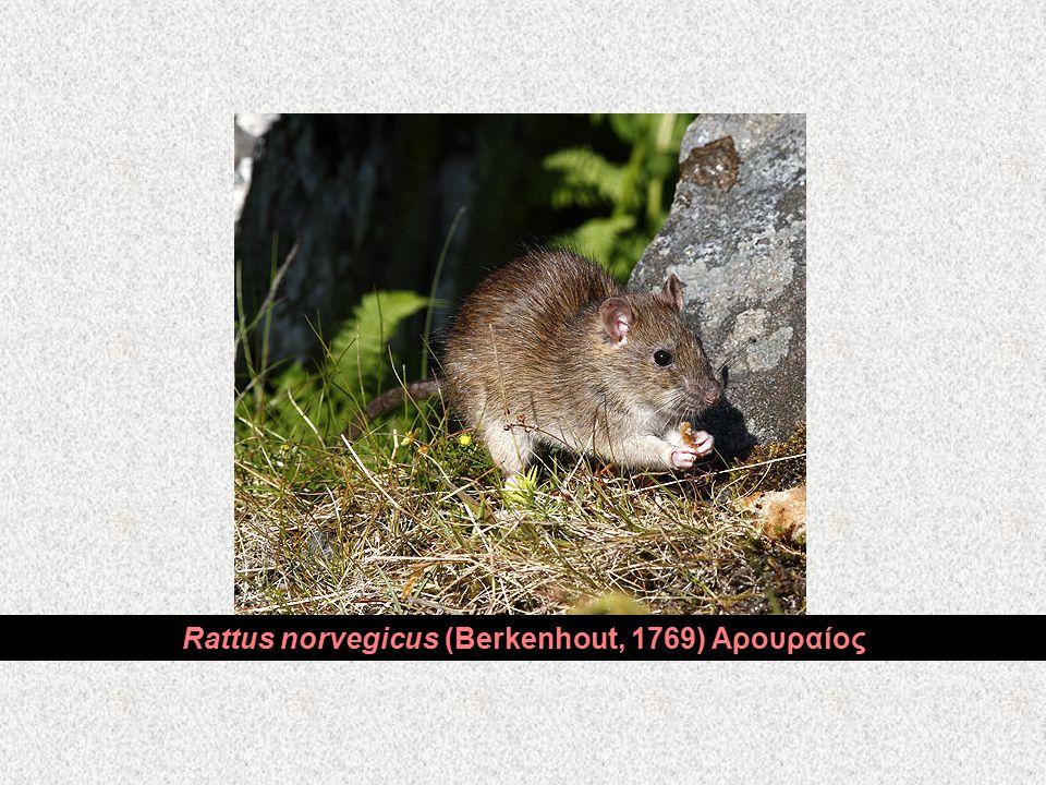 Rattus norvegicus (Berkenhout, 1769) Αρουραίος