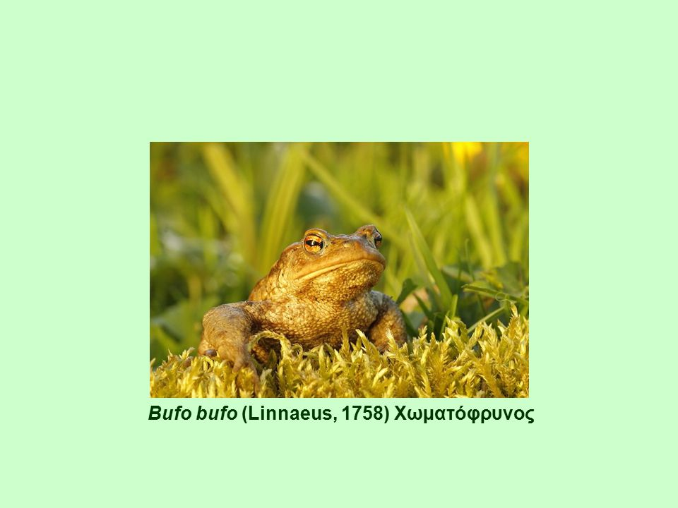 Bufo bufo (Linnaeus, 1758) Χωµατόφρυνος