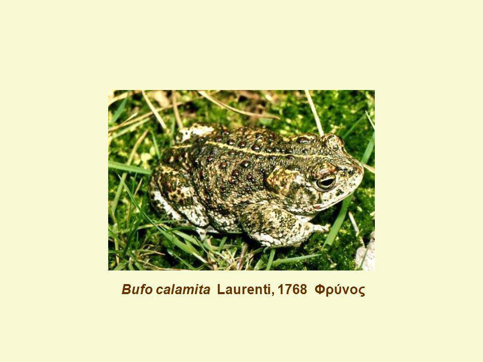 Bufo calamita Laurenti, 1768 Φρύνος