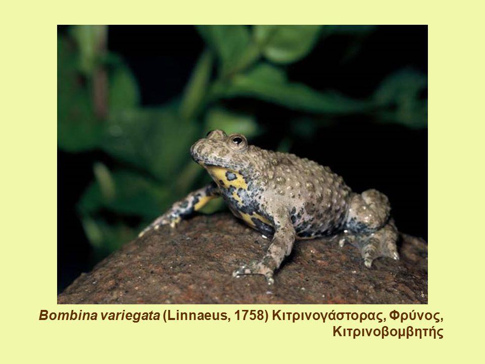 Bombina variegata (Linnaeus, 1758) Κιτρινογάστορας, Φρύνος, Κιτρινοβομβητής