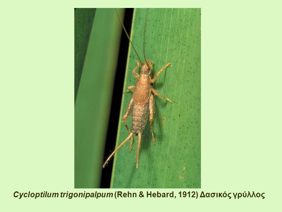 Cycloptilum trigonipalpum (Rehn & Hebard, 1912) Δασικός γρύλλος