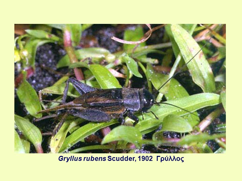 Gryllus rubens Scudder, 1902 Γρύλλος