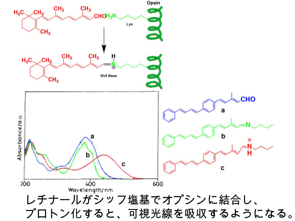 レチナールがシッフ塩基でオプシンに結合し、