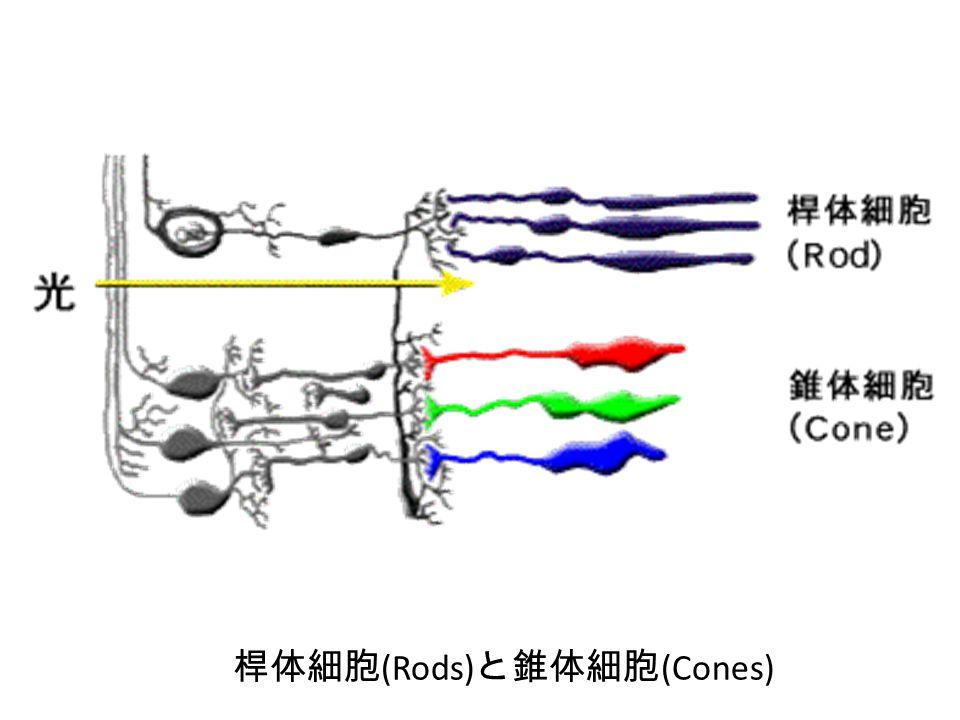 桿体細胞(Rods)と錐体細胞(Cones)