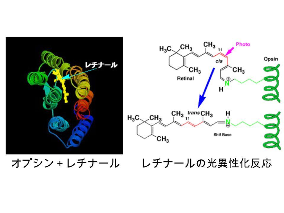 オプシン+レチナール レチナールの光異性化反応