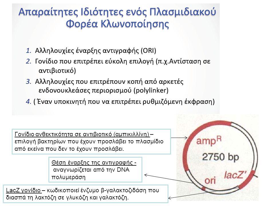 Γονίδιο ανθεκτικότητα σε αντιβιοτικό (αμπικιλλίνη) –