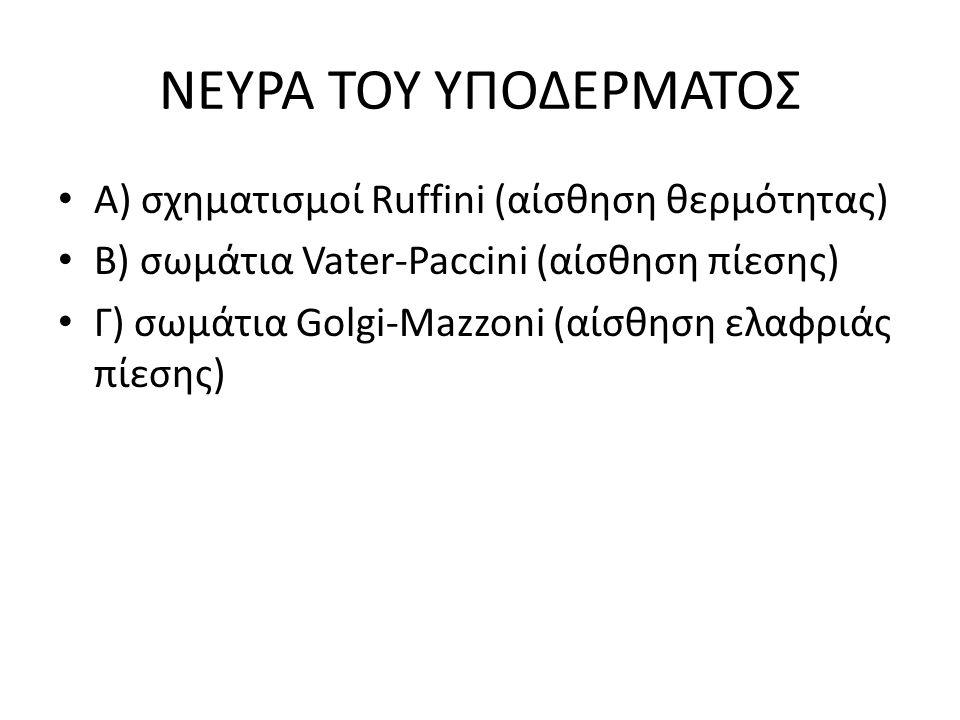 ΝΕΥΡΑ ΤΟΥ ΥΠΟΔΕΡΜΑΤΟΣ Α) σχηματισμοί Ruffini (αίσθηση θερμότητας)