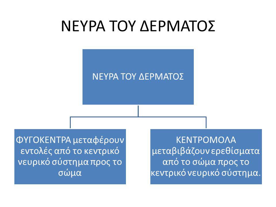 ΝΕΥΡΑ ΤΟΥ ΔΕΡΜΑΤΟΣ ΝΕΥΡΑ ΤΟΥ ΔΕΡΜΑΤΟΣ
