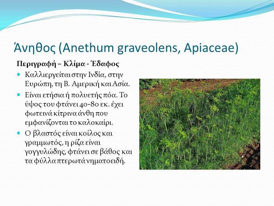 Άνηθος (Αnethum graveolens, Apiaceae)