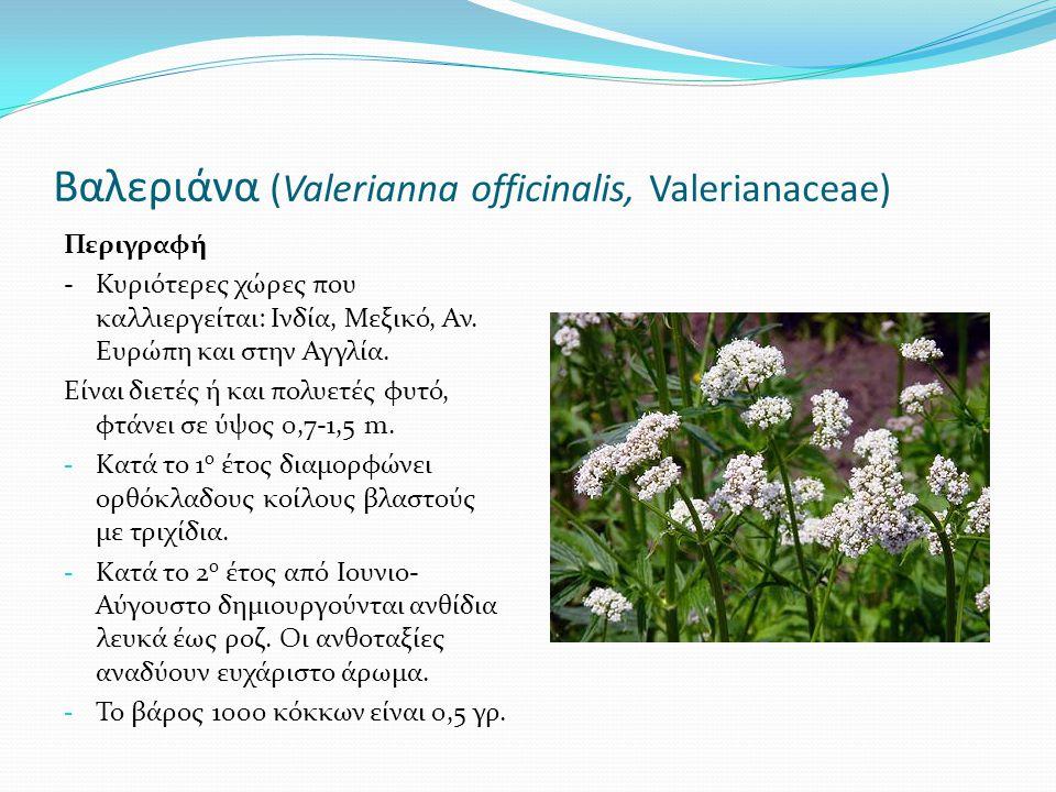 Βαλεριάνα (Valerianna officinalis, Valerianaceae)