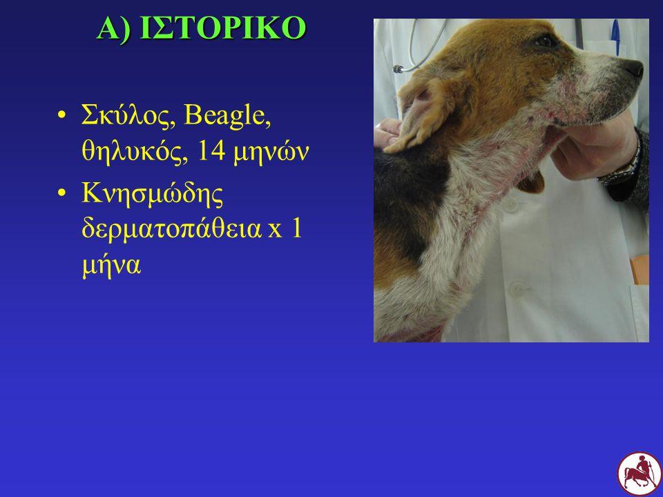 Α) ΙΣΤΟΡΙΚΟ Σκύλος, Beagle, θηλυκός, 14 μηνών