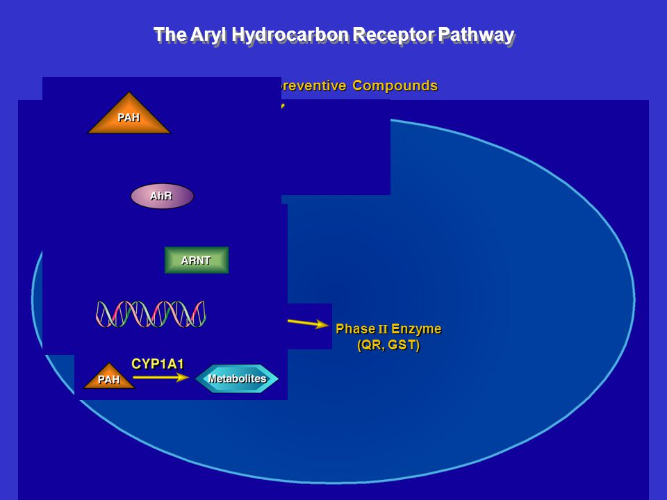 The Aryl Hydrocarbon Receptor Pathway