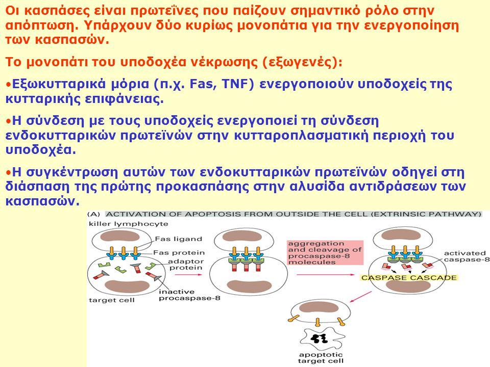 Οι κασπάσες είναι πρωτεΐνες που παίζουν σημαντικό ρόλο στην απόπτωση