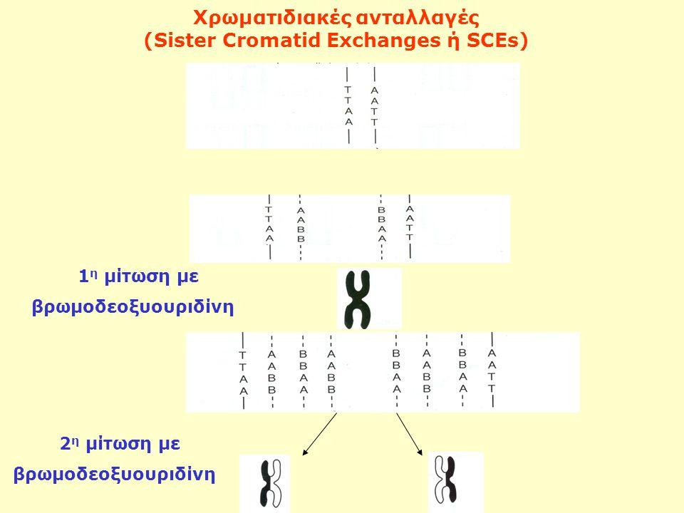 Χρωματιδιακές ανταλλαγές (Sister Cromatid Exchanges ή SCEs)