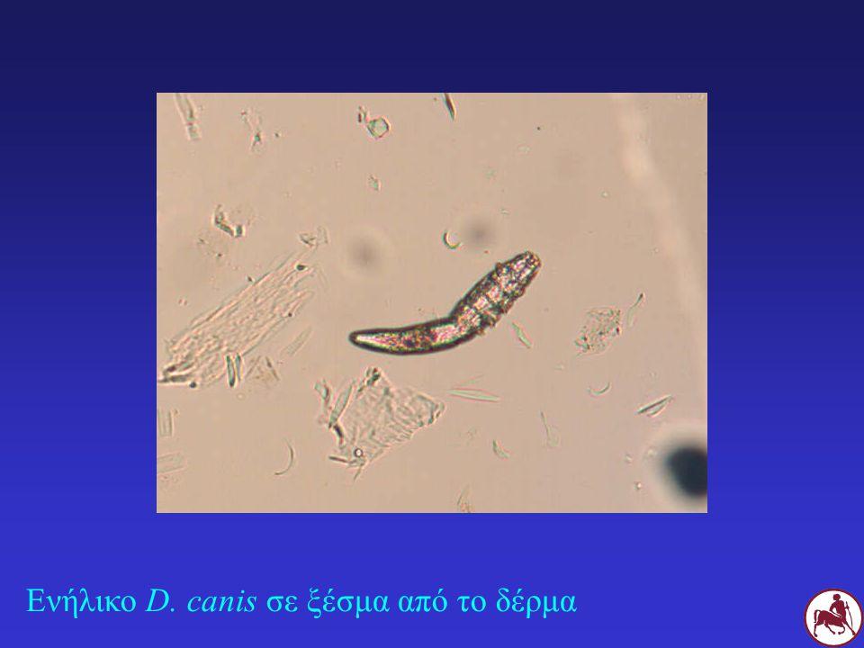 Ενήλικο D. canis σε ξέσμα από το δέρμα