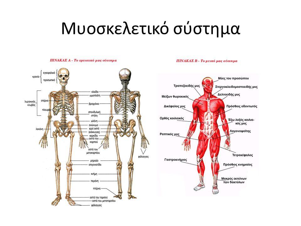 Μυοσκελετικό σύστημα