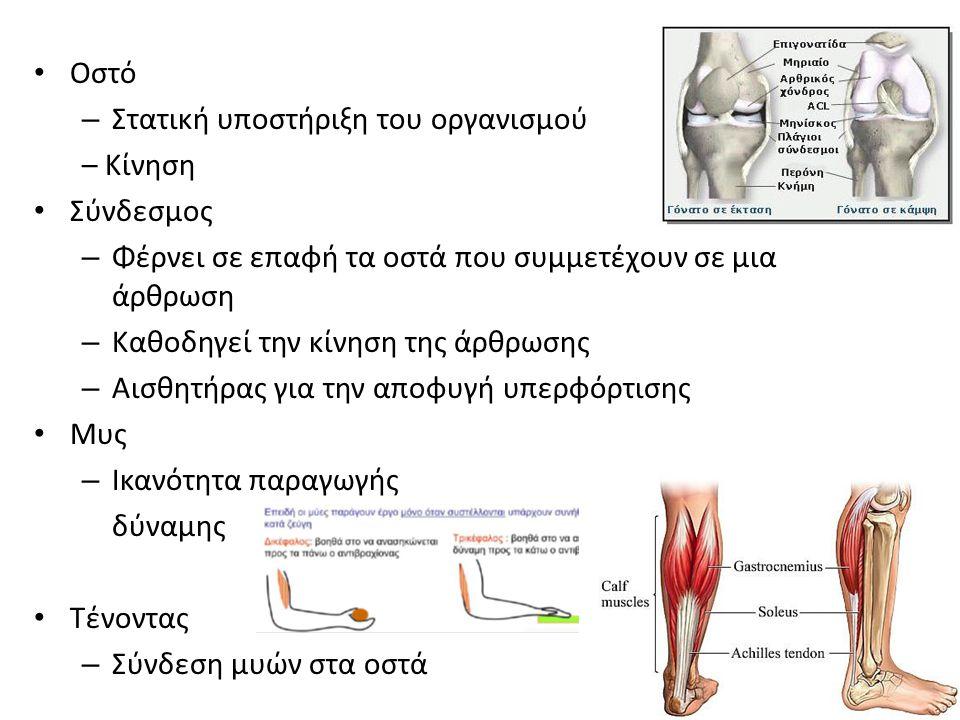 Οστό Στατική υποστήριξη του οργανισμού. – Κίνηση. Σύνδεσμος. Φέρνει σε επαφή τα οστά που συμμετέχουν σε μια άρθρωση.