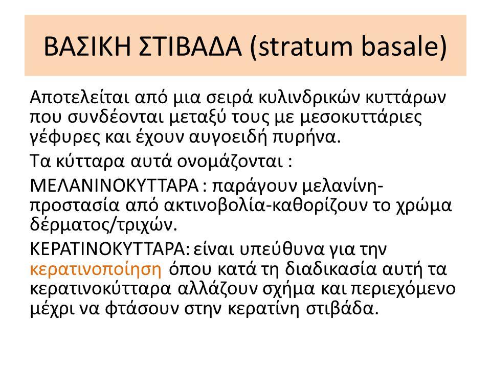 ΒΑΣΙΚΗ ΣΤΙΒΑΔΑ (stratum basale)