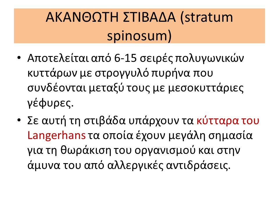 ΑΚΑΝΘΩΤΗ ΣΤΙΒΑΔΑ (stratum spinosum)
