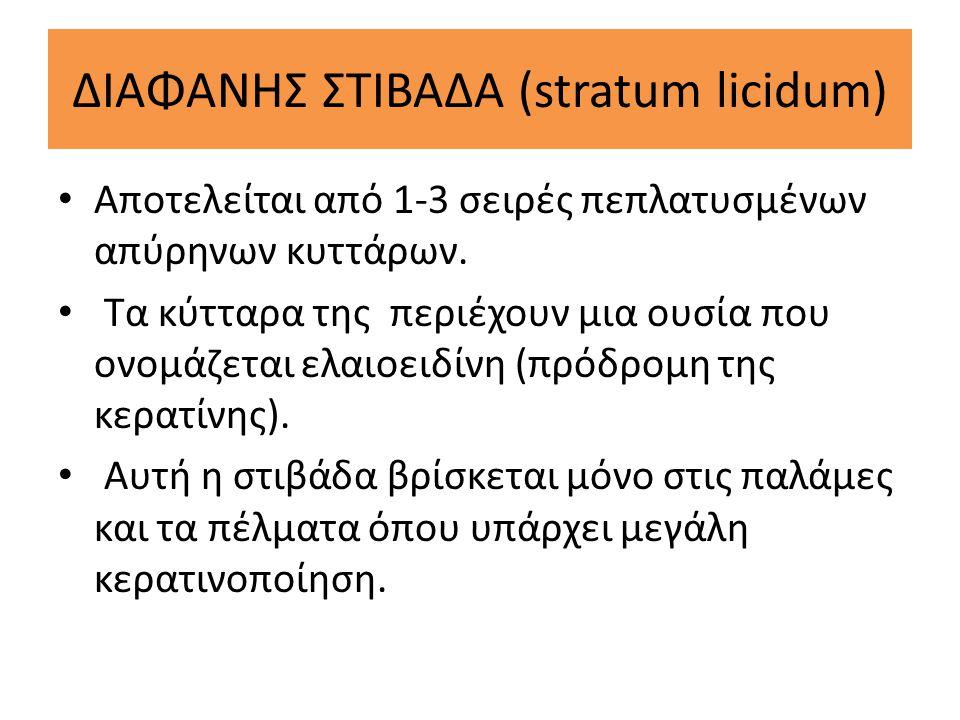 ΔΙΑΦΑΝΗΣ ΣΤΙΒΑΔΑ (stratum licidum)