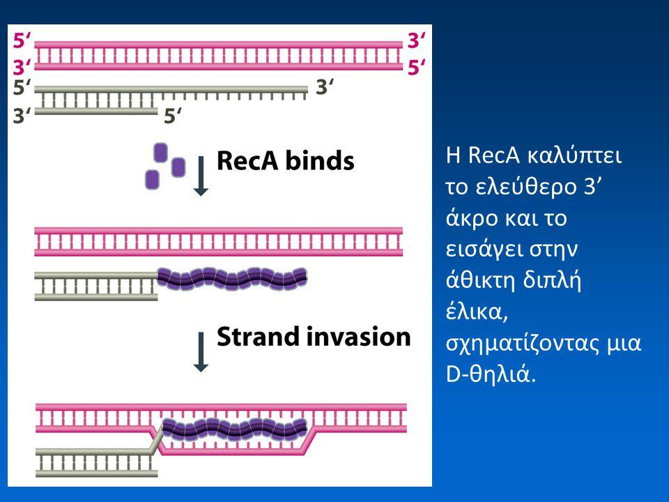 Η RecA καλύπτει το ελεύθερο 3' άκρο και το εισάγει στην άθικτη διπλή έλικα, σχηματίζοντας μια D-θηλιά.