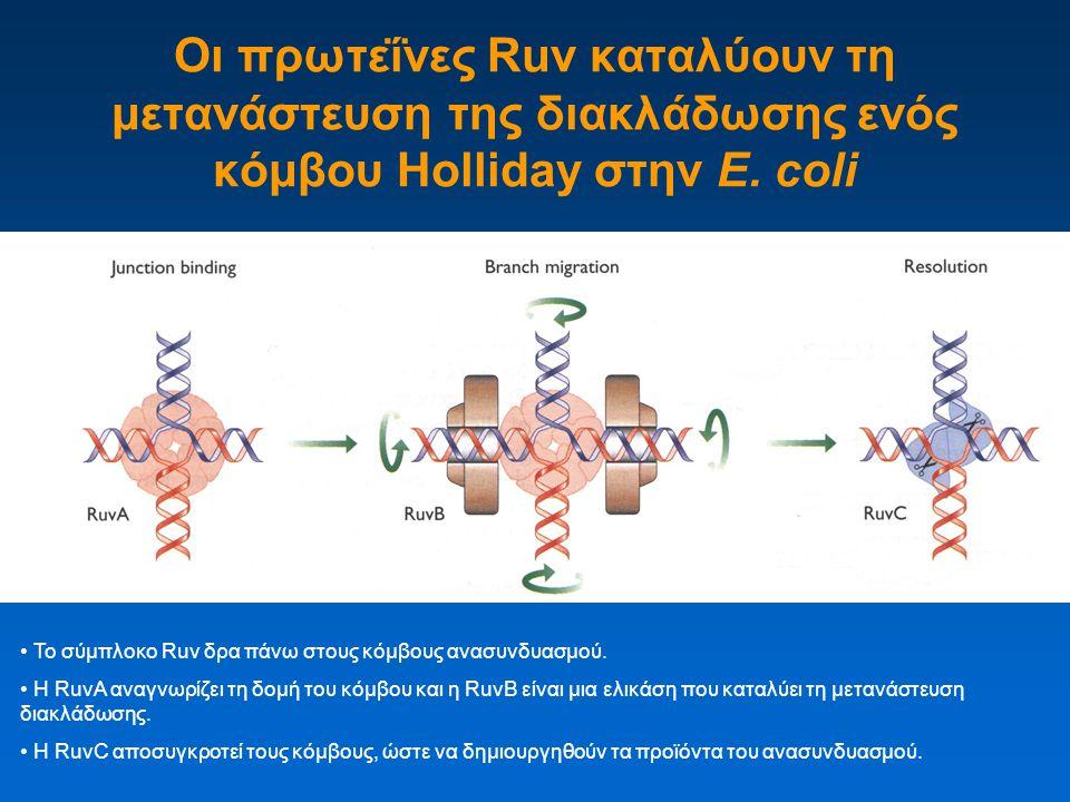 Οι πρωτεΐνες Ruv καταλύουν τη μετανάστευση της διακλάδωσης ενός κόμβου Holliday στην E. coli