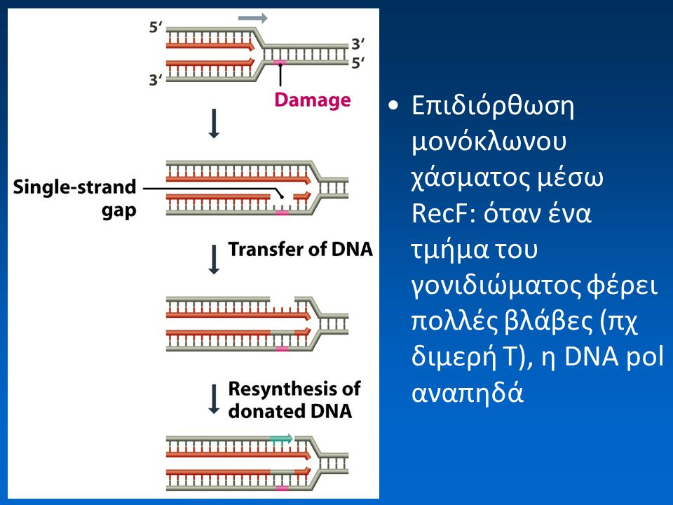 Επιδιόρθωση μονόκλωνου χάσματος μέσω RecF: όταν ένα τμήμα του γονιδιώματος φέρει πολλές βλάβες (πχ διμερή Τ), η DNA pol αναπηδά
