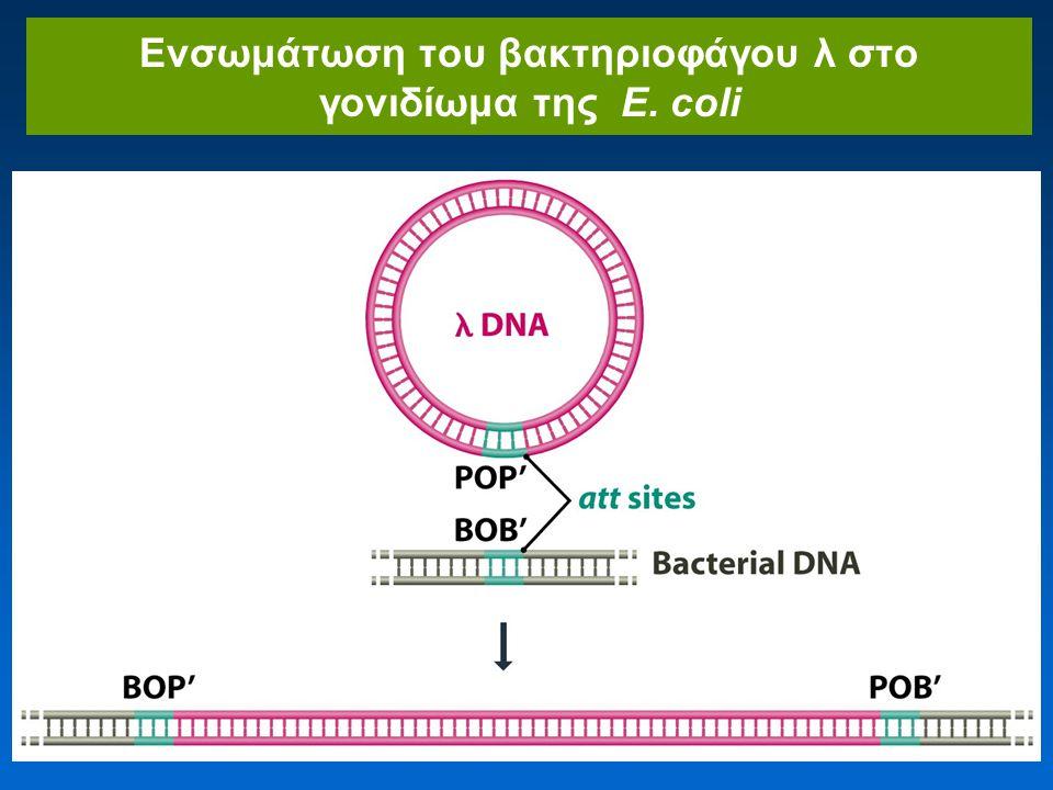 Ενσωμάτωση του βακτηριοφάγου λ στο γονιδίωμα της E. coli