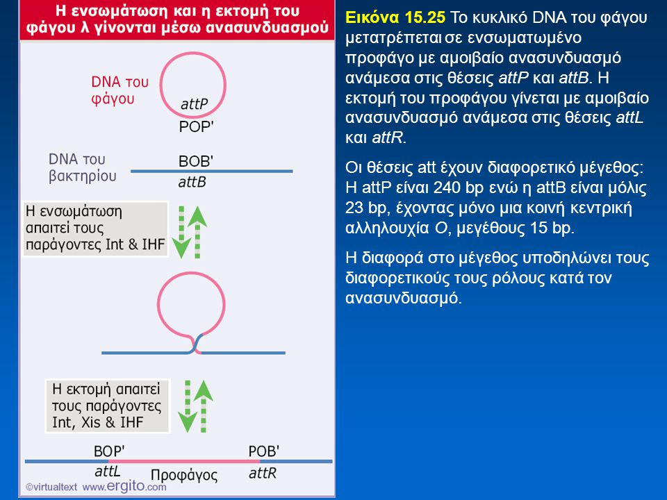 Εικόνα 15.25 Το κυκλικό DNA του φάγου μετατρέπεται σε ενσωματωμένο προφάγο με αμοιβαίο ανασυνδυασμό ανάμεσα στις θέσεις attP και attB. Η εκτομή του προφάγου γίνεται με αμοιβαίο ανασυνδυασμό ανάμεσα στις θέσεις attL και attR.