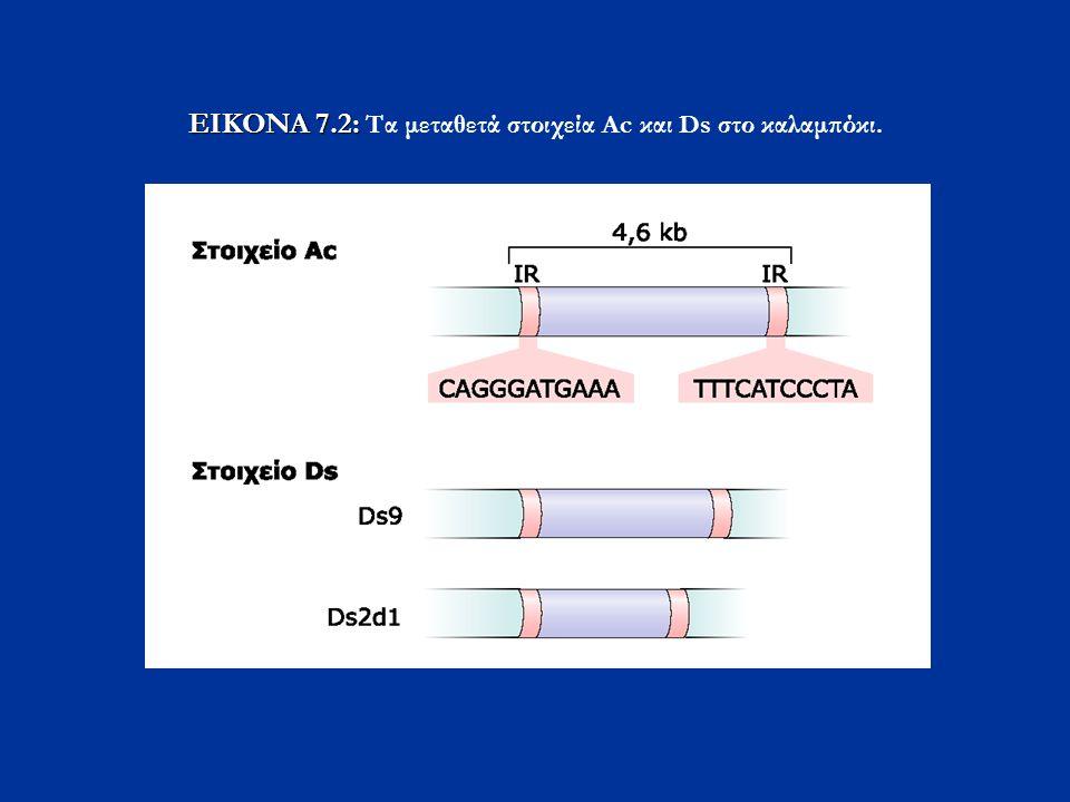 EIKONA 7.2: Τα μεταθετά στοιχεία Ac και Ds στο καλαμπόκι.