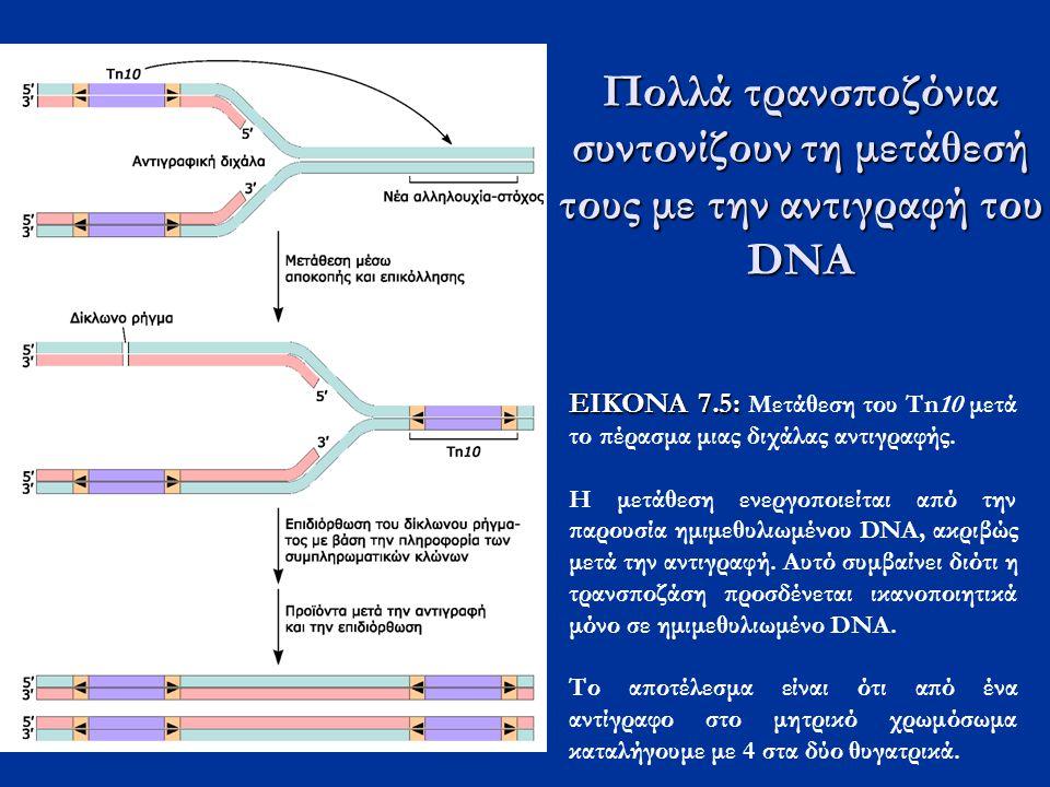Πολλά τρανσποζόνια συντονίζουν τη μετάθεσή τους με την αντιγραφή του DNA