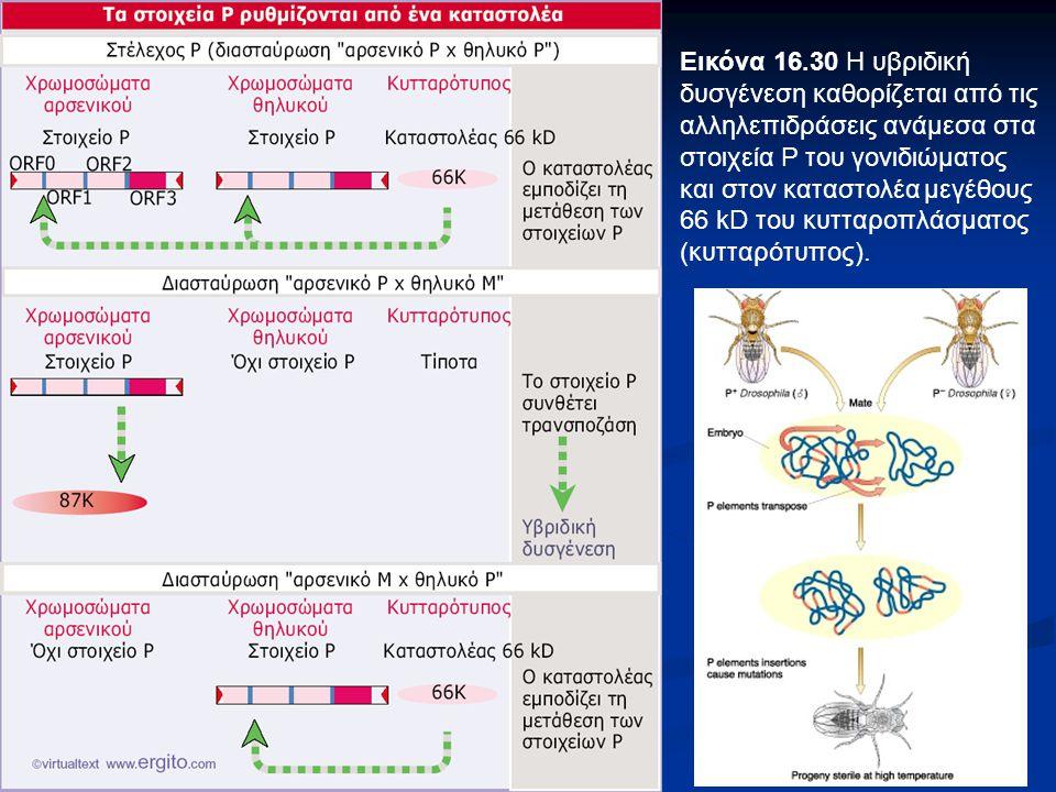 Εικόνα 16.30 Η υβριδική δυσγένεση καθορίζεται από τις αλληλεπιδράσεις ανάμεσα στα στοιχεία Ρ του γονιδιώματος και στον καταστολέα μεγέθους 66 kD του κυτταροπλάσματος (κυτταρότυπος).