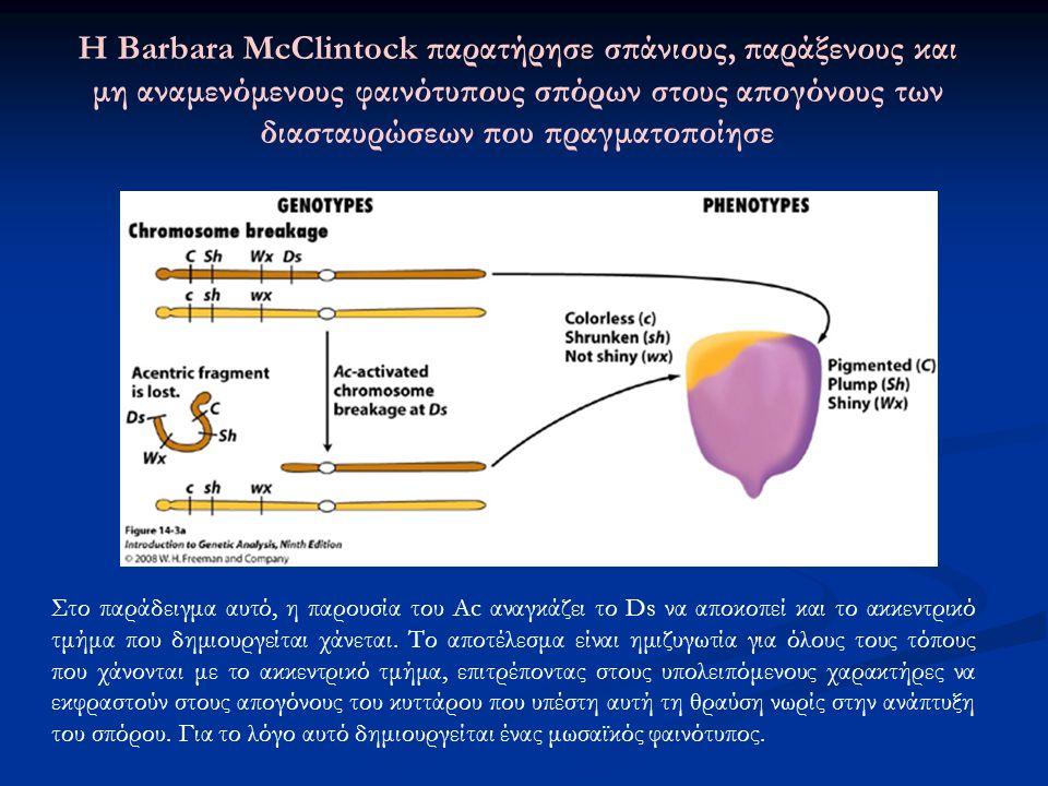 Η Barbara McClintock παρατήρησε σπάνιους, παράξενους και μη αναμενόμενους φαινότυπους σπόρων στους απογόνους των διασταυρώσεων που πραγματοποίησε
