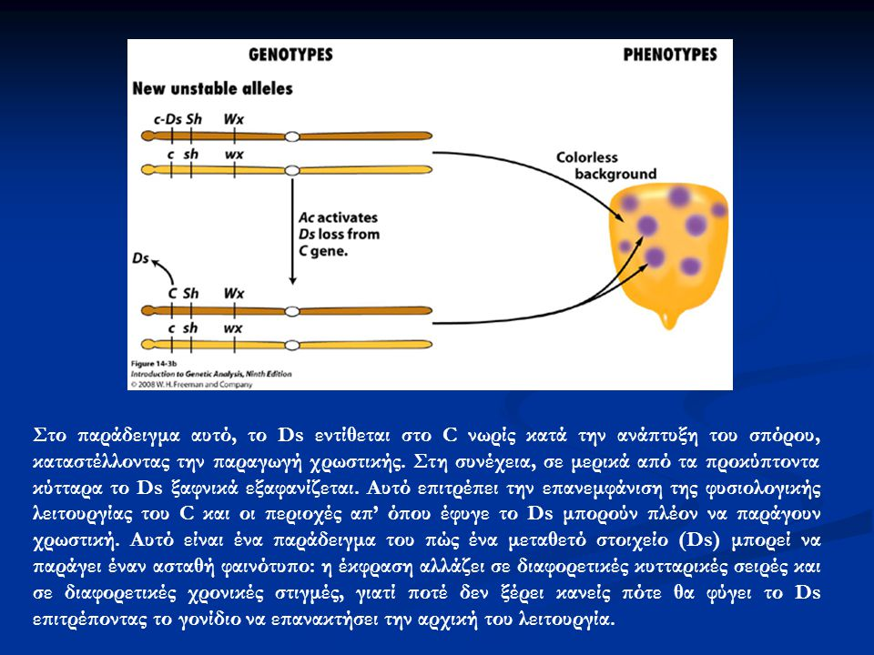 Στο παράδειγμα αυτό, το Ds εντίθεται στο C νωρίς κατά την ανάπτυξη του σπόρου, καταστέλλοντας την παραγωγή χρωστικής.