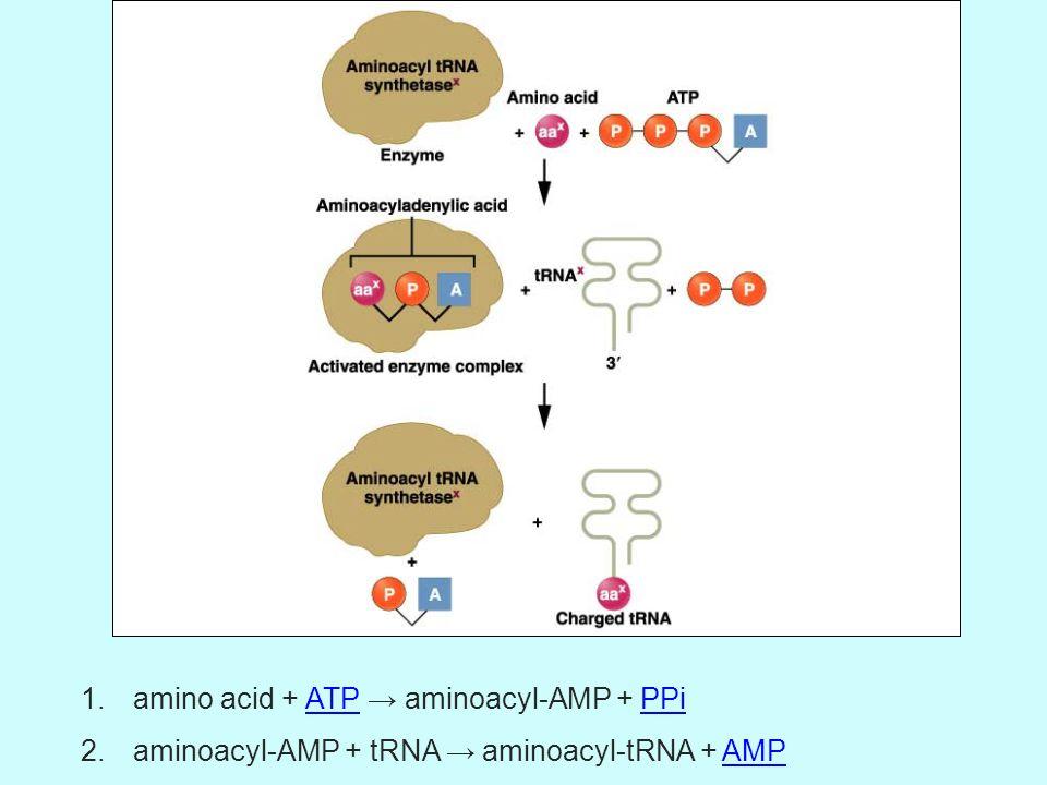 amino acid + ATP → aminoacyl-AMP + PPi