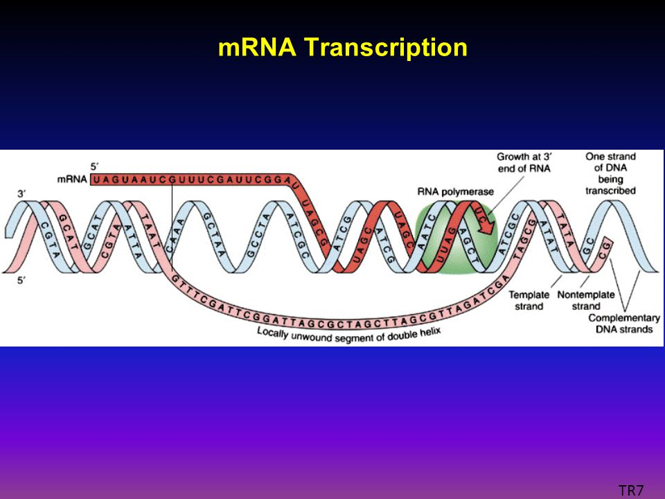 mRNA Transcription TR7
