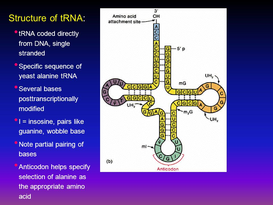 Structure of tRNA: tRNA coded directly from DNA, single stranded