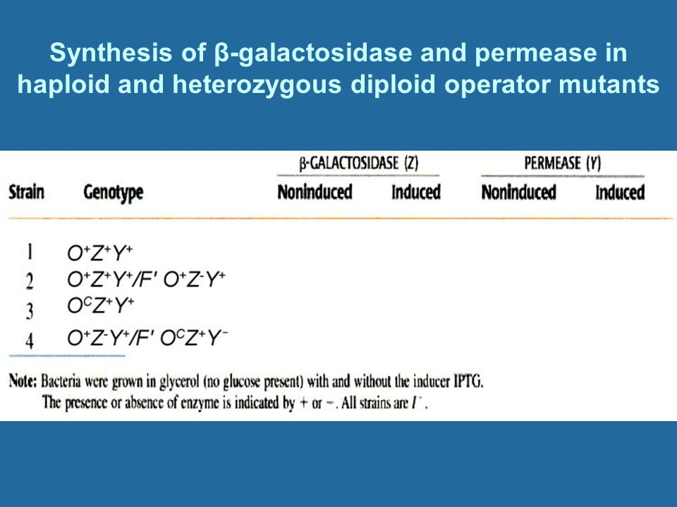 Synthesis of β-galactosidase and permease in haploid and heterozygous diploid operator mutants