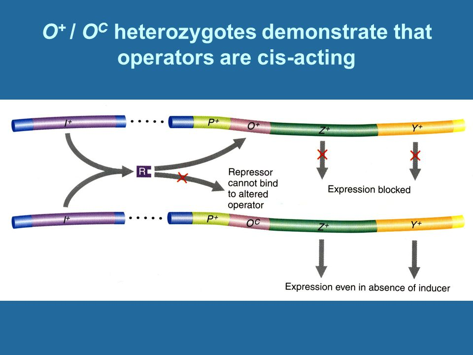 O+ / OC heterozygotes demonstrate that operators are cis-acting