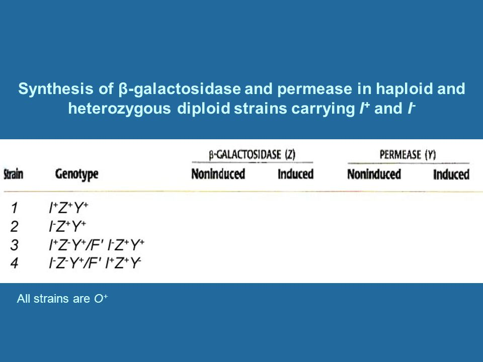 Synthesis of β-galactosidase and permease in haploid and heterozygous diploid strains carrying I+ and I-